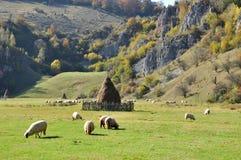 Moltitudine di pascolo delle pecore merino all'autunno Fotografia Stock