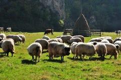 Moltitudine di pascolo delle pecore merino all'autunno Fotografie Stock