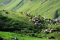 Moltitudine di pascolo delle pecore sul campo di erba, India del Nord Fotografia Stock