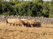 Moltitudine di pecore Fotografie Stock