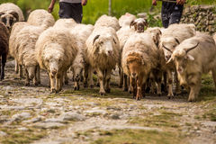 Moltitudine di pecore Immagine Stock Libera da Diritti