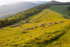 Moltitudine di pecore Immagini Stock Libere da Diritti