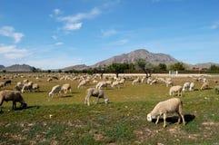 Moltitudine di pecore, agricoltura spagnola Fotografia Stock
