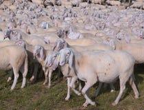 Moltitudine di pecore - animali e concetto astratto immagine stock libera da diritti