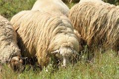 Moltitudine di pecore bianche che pascono Fotografia Stock