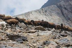 Moltitudine di pecore & di capre che vanno sulla strada della montagna fotografie stock