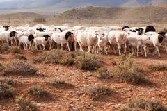 Moltitudine di pecore che camminano nel paese arido Immagine Stock Libera da Diritti