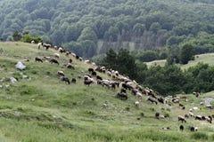 Moltitudine di pecore che pascono Immagine Stock