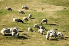 Moltitudine di pecore che pascono al crepuscolo Immagini Stock Libere da Diritti