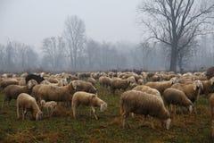 Moltitudine di pecore che pascono nella caduta Immagini Stock