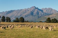 Moltitudine di pecore che pascono nelle alpi del sud Fotografia Stock Libera da Diritti