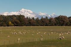 Moltitudine di pecore che pascono nelle alpi del sud, Nuova Zelanda Immagini Stock