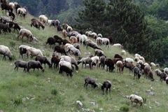 moltitudine di pecore che pascono nelle montagne Immagine Stock