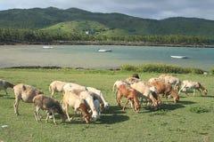 Moltitudine di pecore che pascono, Rodrigues Island Fotografia Stock
