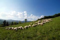 Moltitudine di pecore che pascono su un pendio di collina Immagini Stock Libere da Diritti