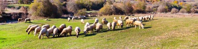 Moltitudine di pecore che pascono su un pendio di collina Immagini Stock
