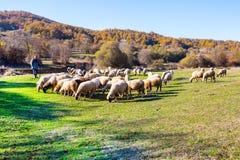 Moltitudine di pecore che pascono su un pendio di collina Fotografie Stock Libere da Diritti