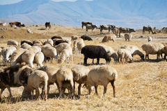 Moltitudine di pecore che pascono sull'erba di autunno Immagine Stock Libera da Diritti