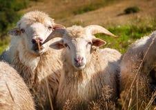 Moltitudine di pecore che pascono sulle colline Immagine Stock