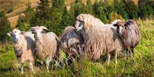 Moltitudine di pecore che pascono sulle colline Fotografie Stock