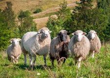 Moltitudine di pecore che pascono sulle colline Fotografia Stock