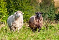 Moltitudine di pecore che pascono sulle colline Fotografia Stock Libera da Diritti