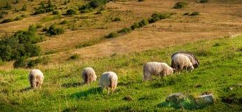 Moltitudine di pecore che pascono sulle colline Immagini Stock Libere da Diritti