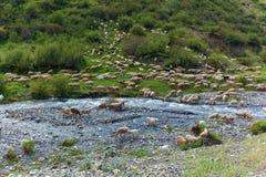 Moltitudine di pecore che pascono in una collina su un prato verde, Israele Immagine Stock