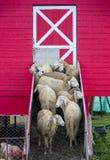 Moltitudine di pecore che stanno all'entrata del granaio delle pecore Fotografia Stock Libera da Diritti