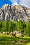 Moltitudine di pecore in colline pedemontana del pascolo, dolomia Immagine Stock