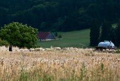 Moltitudine di pecore con il pastore, Fotografia Stock Libera da Diritti