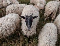 Moltitudine di pecore Concetto - azienda agricola ed animali Fotografia Stock