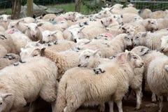 Moltitudine di pecore di montagna di Lingua gallese Immagine Stock Libera da Diritti