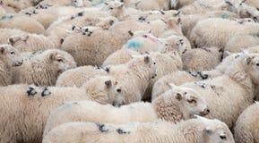 Moltitudine di pecore di montagna di Lingua gallese Fotografie Stock