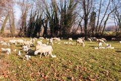 Moltitudine di pecore e di agnelli Fotografie Stock