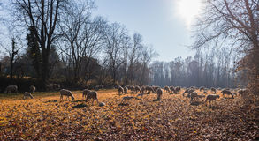 Moltitudine di pecore e di agnelli Immagine Stock