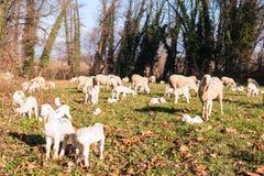Moltitudine di pecore e di agnelli Fotografie Stock Libere da Diritti