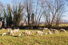 Moltitudine di pecore e di agnelli Immagini Stock Libere da Diritti