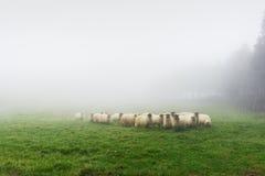 Moltitudine di pecore il giorno nebbioso Fotografia Stock