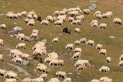 Moltitudine di pecore nell'alta montagna Immagini Stock Libere da Diritti