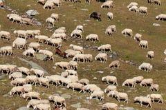 Moltitudine di pecore nell'alta montagna Immagine Stock