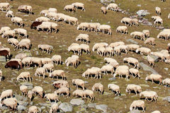 Moltitudine di pecore nell'alta montagna Fotografie Stock
