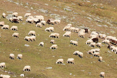Moltitudine di pecore nell'alta montagna Immagini Stock