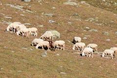 Moltitudine di pecore nell'alta montagna Fotografia Stock
