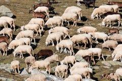 Moltitudine di pecore nell'alta montagna Fotografia Stock Libera da Diritti