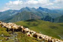 Moltitudine di pecore nelle montagne carpatiche Montagne di Fagaras, R Fotografia Stock