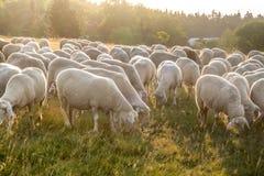 Moltitudine di pecore nelle montagne di Taunus Fotografia Stock Libera da Diritti