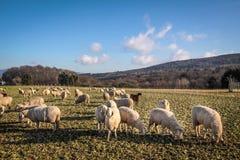 Moltitudine di pecore nelle montagne di Taunus Immagine Stock