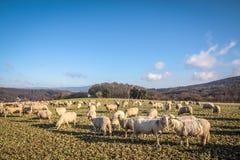 Moltitudine di pecore nelle montagne di Taunus Immagine Stock Libera da Diritti