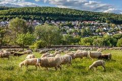 Moltitudine di pecore nelle montagne di Taunus Fotografia Stock